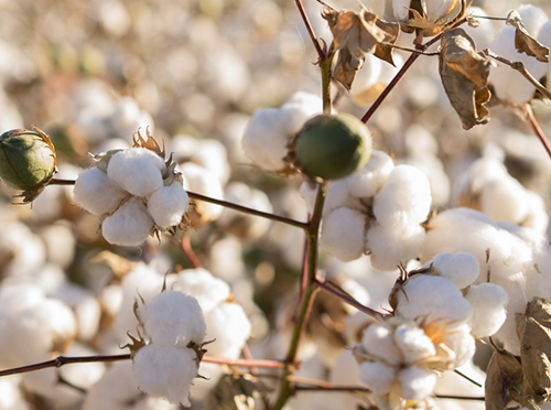Cotton plant that is used to make cotton custom t-shirts.